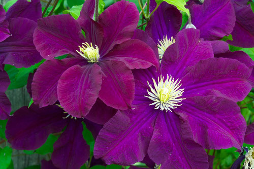 Clematis 'Warsaw Nike' growing at Distant Hill Gardens in Walpole, New Hampshire.