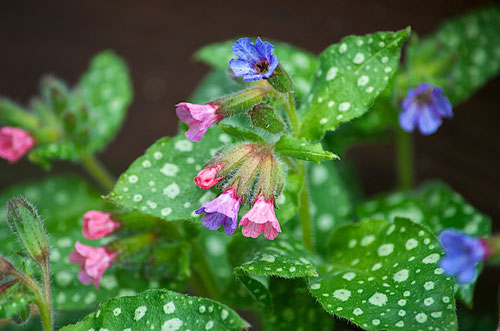 Pulmonaria saccharata 'Mrs. Moon' blooming at Distant Hill Gardens.