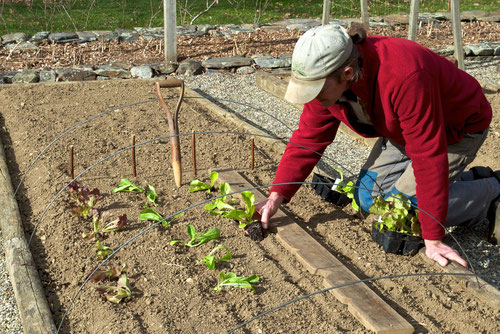 Michael transplanting lettuce seedlings into the vegetable garden at Distant Hill Gardens.