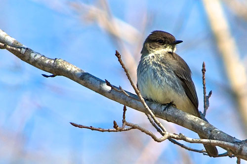 For the past five years, Eastern Phoebes have returned to nest in our sugarhouse.