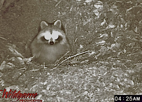 A Raccoon emerging from its burrow, photographed with a motion sensing infrared trail camera.