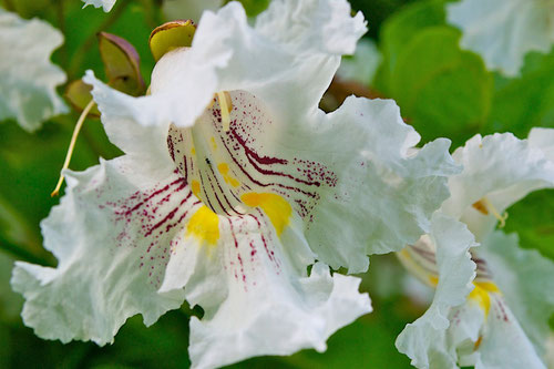 The flower of a Northern Catalpa (Catalpa speciosa), a cultivated tree at Distant Hill Gardens in Walpole, New Hampshire.