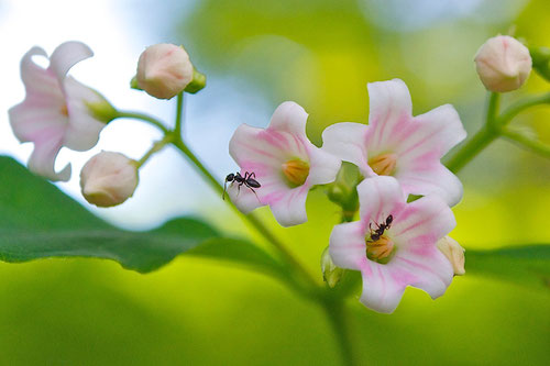 Spreading dogbane flowers (Apocynum androsaemifolium)