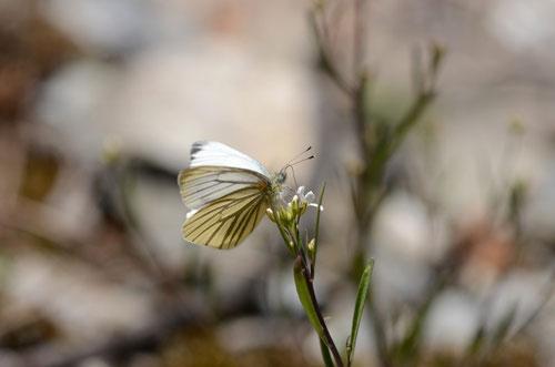 ハタザオの花で吸密するヤマトスジグロシロチョウ♂、大鹿村2012.05.13