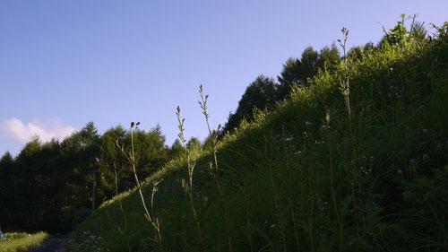 毎年宿泊する松本市奈川の畑の土手に生えているワレモコウです。ゴマシジミがとまっているといいんですがね。2012.08.04