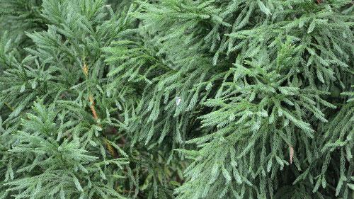 谷を挟んではるか向こうの杉の葉にとまりました。写真中央です。D7000+シグマ50-500(500mm)でこの大きさです。(上下カットしました)