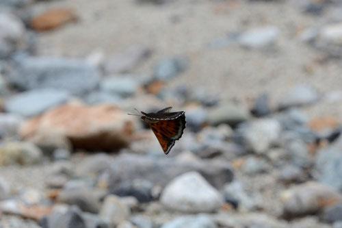 河原を飛ぶ黒いオオイチモンジ♂(クロオオイチ) D7000+200mmマイクロ(トリミング)