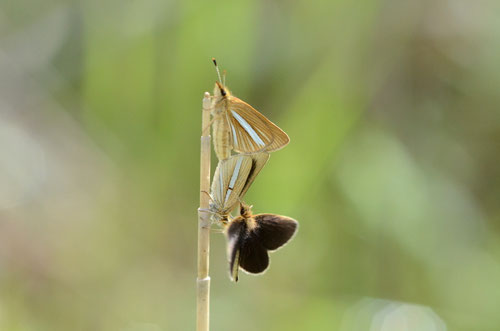 ギンイチモンジセセリの交尾中に♂が飛んできて割り込もうとします。府中市2012.04.28 D7000+200mmマクロ