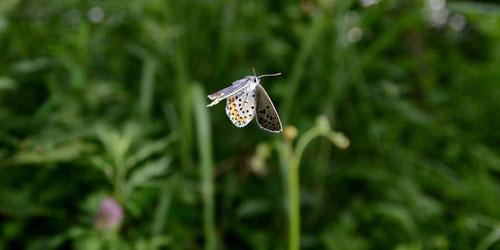 アサマシジミ♂の飛翔 白馬村、2012.06.30 D7000+A16(ストロボ発光)