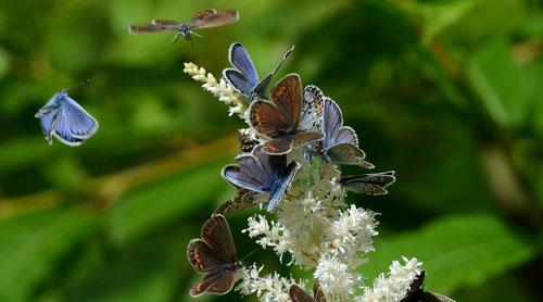 比較的新鮮なヒメシジミ雌雄がたくさん吸蜜に来ていました。D7000+200mmマクロ(トリミング)