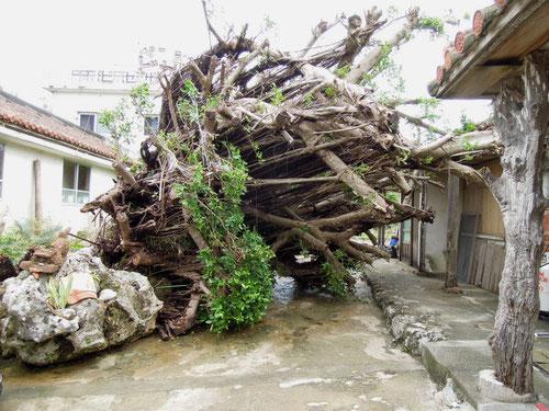 台風16号によって倒れてしまったガジュマロの木 今帰仁村2012.09.24 P-300