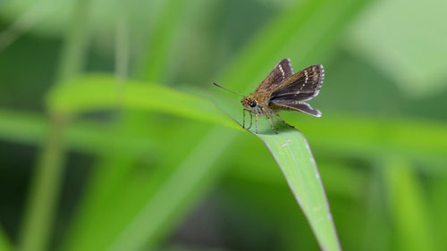ホシチャバネセセリ♂の開翅(すぐに見失いました)木曽町2012.07.29 D7000+200mmマイクロ