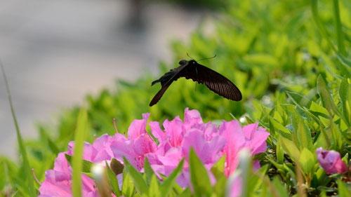 カラスアゲハ♂の飛翔を正面から、常滑市桧原公園2012.05.06