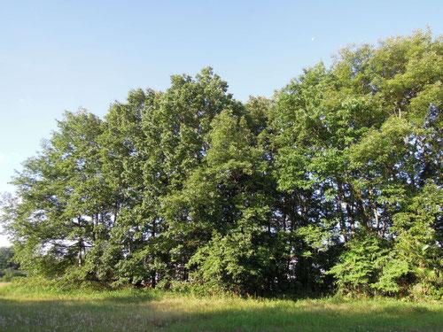 豊田市内の農村地帯に残るクヌギ林(アベマキ?)、こんな場所にクロミドリシジミが棲んでいます
