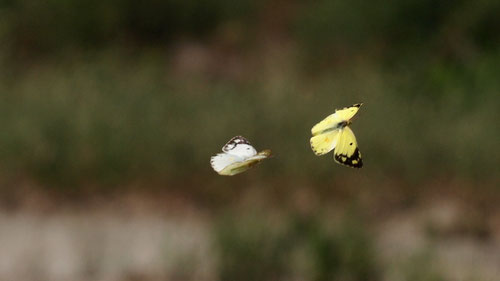 見かけた蝶は、ほんの数種類でこんな風景しか撮るものがない。モンキチョウ♀♂釜無川堤防2012.09.15   E-5+シグマ150mmマクロ(トリミング)