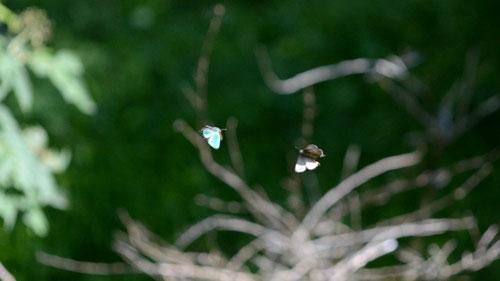 アイノミドリシジミ♂らしき卍飛翔、もう少し鮮明に撮れると良かったんですがね。大鹿村、2012.07.28 D7000+200マイクロ(トリミング)