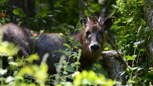 珍しくもないカモシカですが、鹿というより牛ですね。