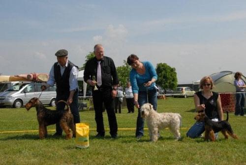 Der Airedale Terrier auf der Ausstellung