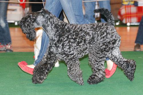 Der Kerry Blue Terrier zeigt sein Gangwerk