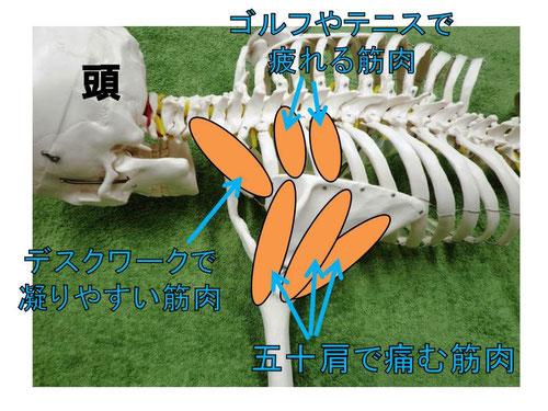 千葉県市川市本八幡スポーツマッサージ肩の痛み