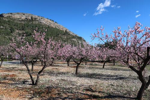 Mandelblüte im Land Valencia