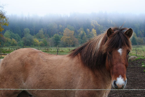 Islandshästen Skari