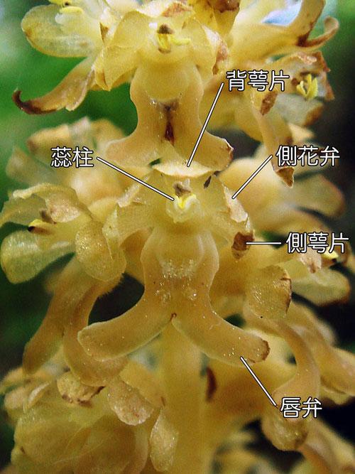 サカネランの花の構造(背萼片、側花弁、側萼片、唇弁、蕊柱)