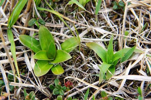 左:ノギラン、右:ネバリノギラン (粘芒蘭)の新芽 どちらもノギラン科