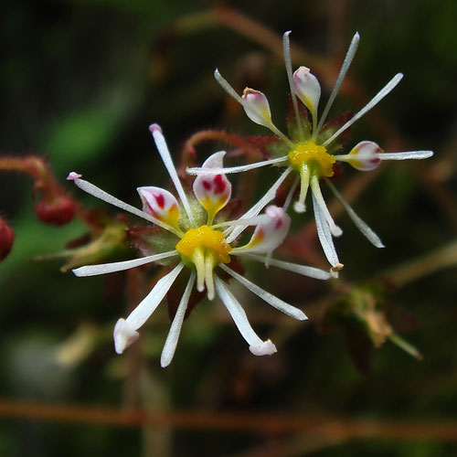 #2 ホシザキユキノシタの花 下側2花弁が雄しべのような形状になっている