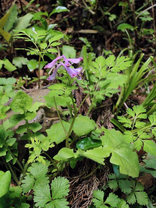 #4 ムラサキケマンの茎や葉の様子 2010.04.30 栃木県足利市 alt=257m
