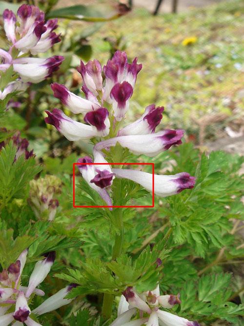 #19 シロヤブケマンと思われる植物の萼片が見えた!