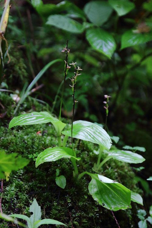 絶滅危惧ⅠB類の植物。分布域は広いが、自生地は限定され、今まで出会えなかった