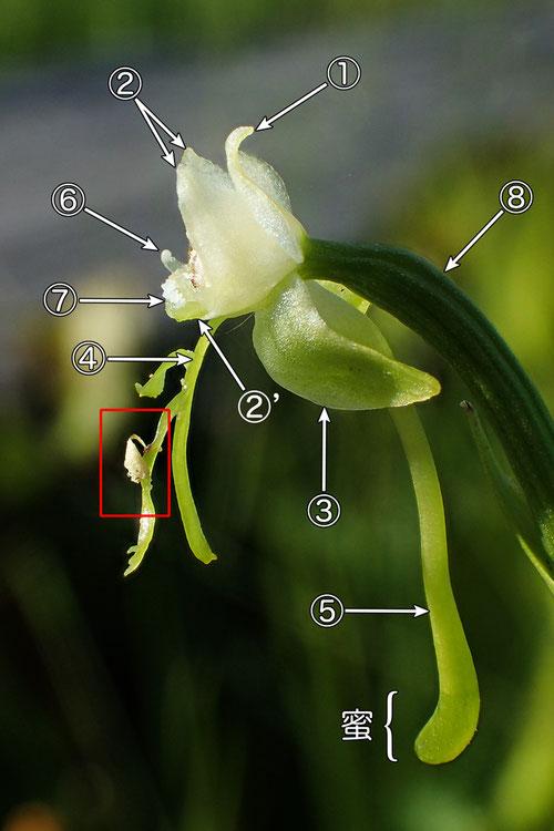 #9 オゼノサワトンボの花の側面