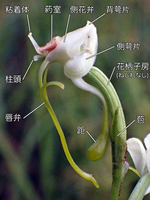ミズトンボの花の構造 側面(背萼片、側花弁、側萼片、柱頭、唇弁、距、苞)