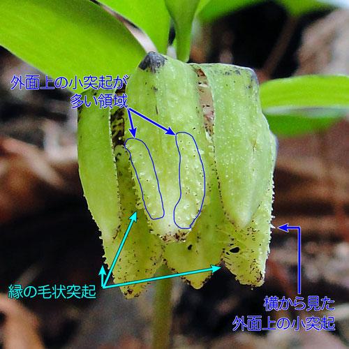 #14 コシノコバイモの花被片外面の突起