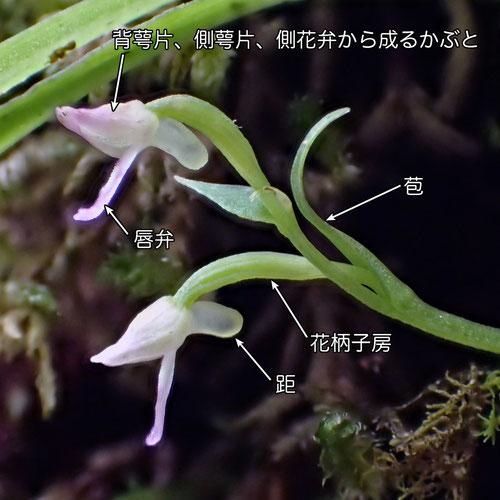 #3 フジチドリの花の側面