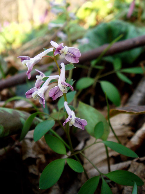 #7 ミチノクエンゴサク 紅紫色の花を咲かせた個体   2008.04.05 新潟県