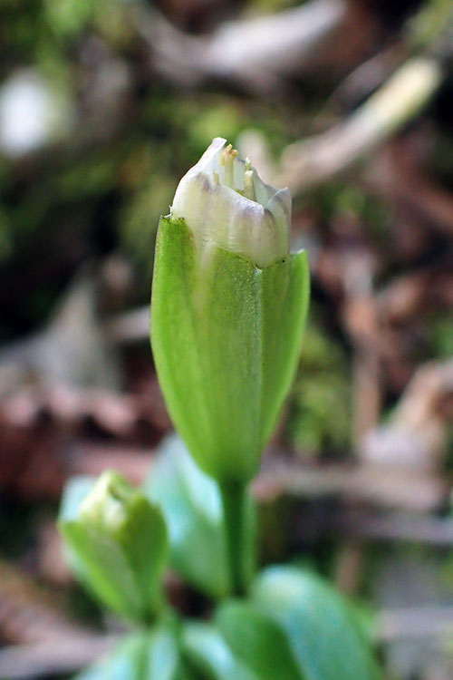 わずかに開いたチチブリンドウの花 絶滅危惧1B類に指定された希少種