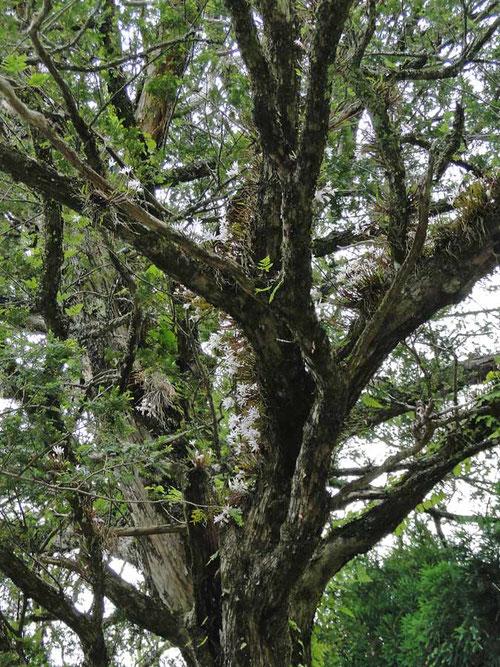 大木の幹や枝に、ものすごい数のセッコクが着生している