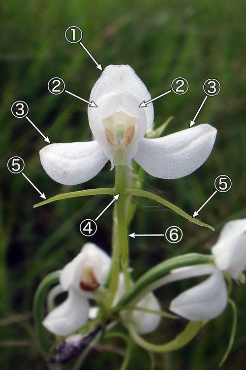 #3 オオミズトンボの花の各部の名称(正面1)
