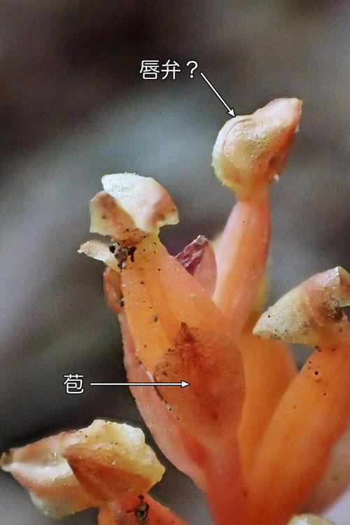 #5 ヒメノヤガラの花−2