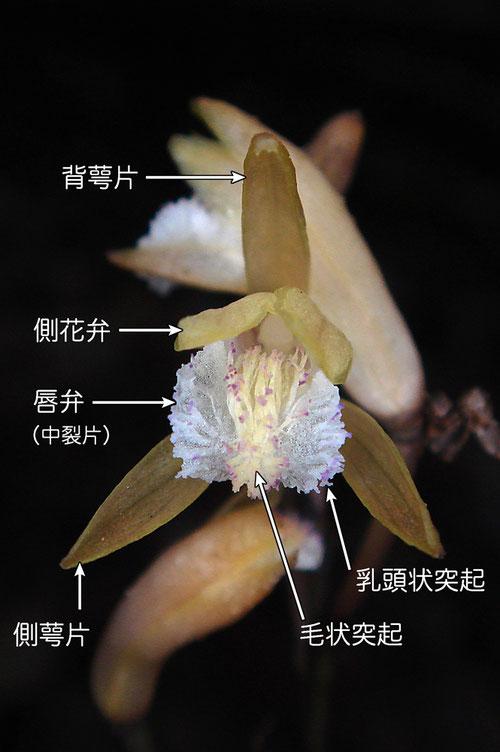 #8 ウスキムヨウランの花の正面  各部の名称