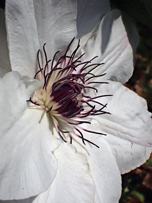 カザグルマの花の中央には、暗紫色の葯の雄しべが多数あります