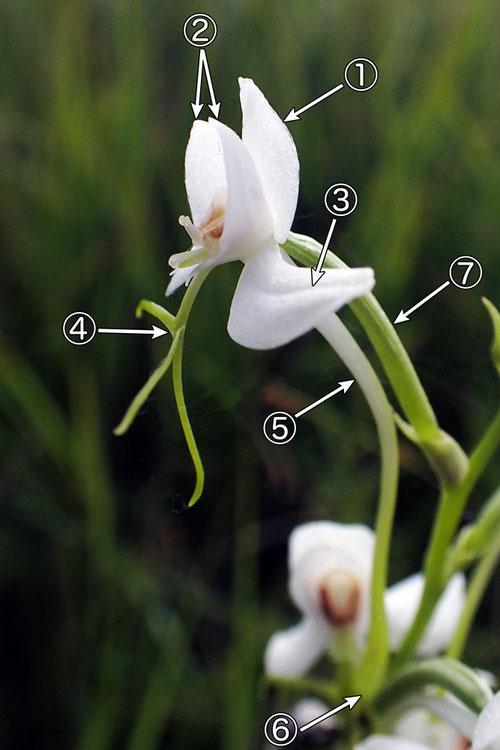 #5 オオミズトンボの花の各部の名称(側面1)