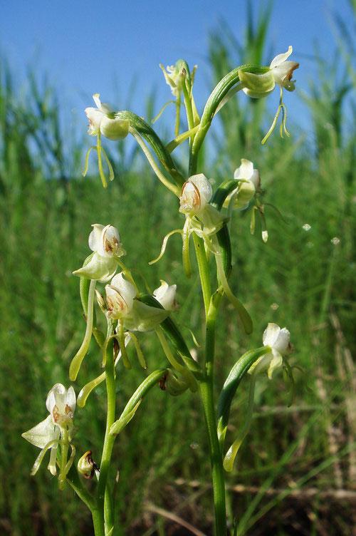 #15 オゼノサワトンボの多くの花で花粉塊が持ち去られていた