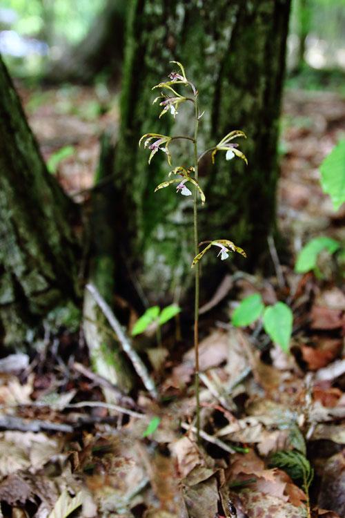 トケンラン(杜鵑蘭) ラン科 サイハイラン属  2020.06.20