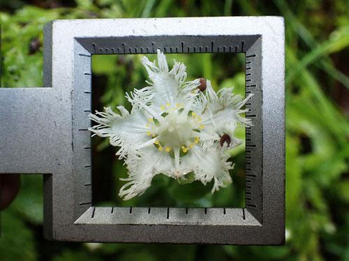スケールの1辺は25mmなので... 花の径もそれくらい
