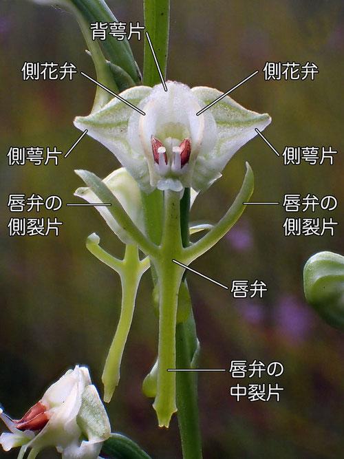 ミズトンボの花の構造 正面1(背萼片、側花弁、側萼片、唇弁、側萼片、中裂片)