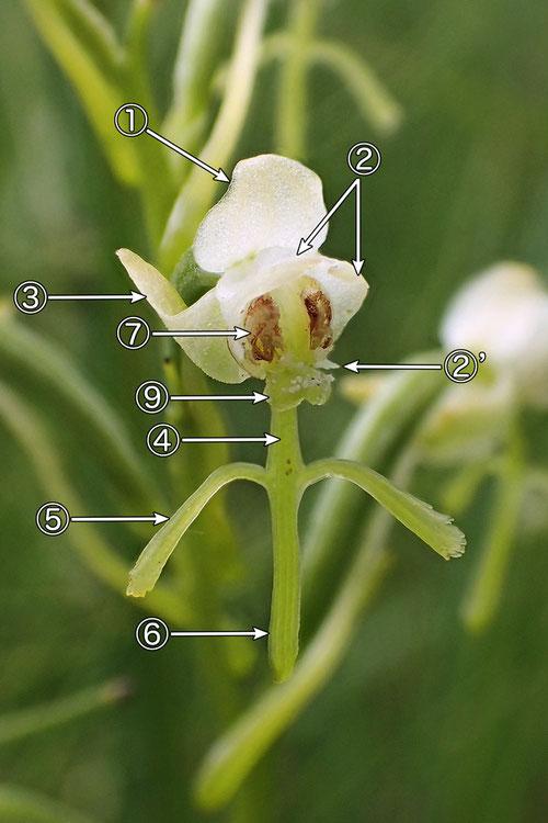 #6 オゼノサワトンボの花の正面