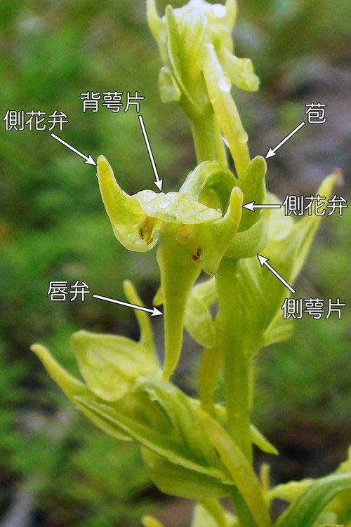 #5 タカネサギソウの花の各部の名称−花の正面  2015.07.19 長野県